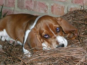 Basset Hound Puppies For Sale Near Me And Dogs For Sale